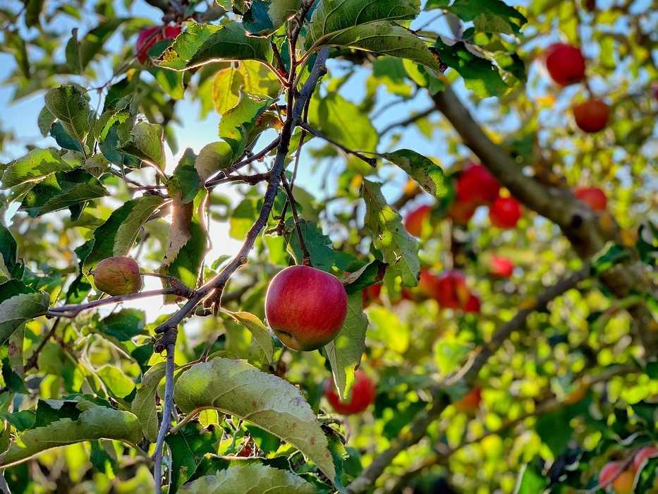 La pomme à Plœuc-L'Hermitage 0